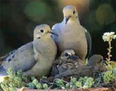 dove-family